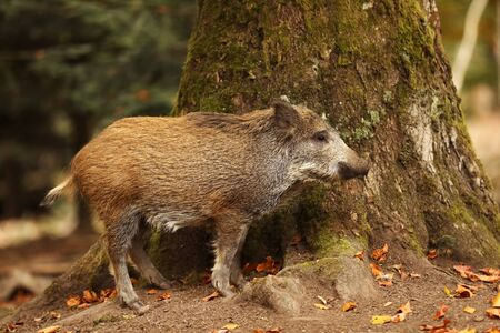 Young Wild boar, Sus scrofa, in the autumn forest near the tree, Germany Фото со стока