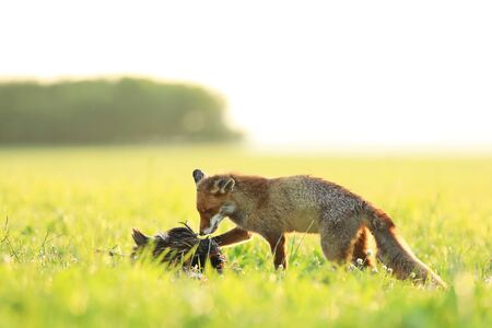 Red fox vixen eat prey on meadow in the morning - Vulpes vulpes Stock Photo
