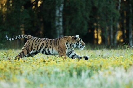 Tigre con flores amarillas. Tigre siberiano en un hermoso hábitat en la pradera - Pathera tigris altaica Foto de archivo