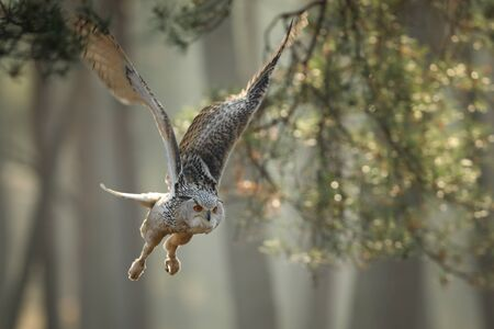 Flying Eurasian Eagle owl with open wings in autumn forest. Wildlife Europe.