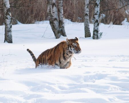 Siberian tiger - Panthera tigris altaica - in winter forest