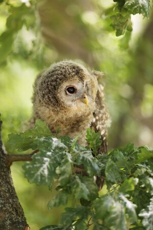 Nestling of tawny owl - Strix aluco sit on the branch, Czech republic