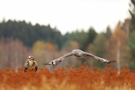 Common buzzard (Buteo buteo) is bird of prey, pait on meadow in autumn