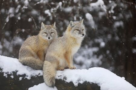 Two Corsac fox on trunk in winter - Vulpes corsac
