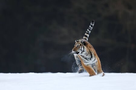 Amur tiger in wild winter nature. Typical winter in taiga, Russia.  Panthera tigris altaica Banque d'images - 138135442