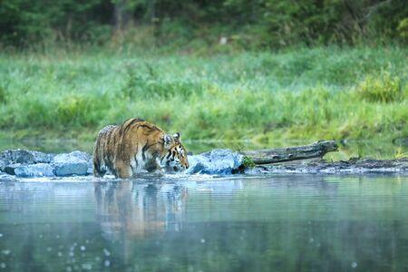 Siberian tiger walk through pond - Panthera tigris altaica Banque d'images - 138135479