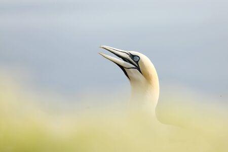 Northern gannet, (Morus bassanus) detail head portrait of sea bird sitting on the nest, with dark blue sea water in the.
