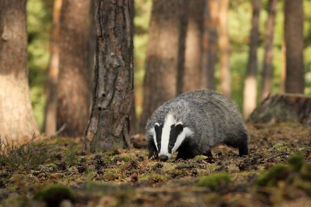 Meles meles, animal in wood. European badger sniffing in pine forest