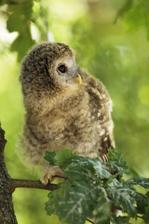 Young tawny owl - Strix aluco sin on the branch in leaves on summer morning