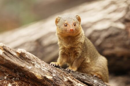 Common dwarf mongoose, Helogale parvula, sitting on the tree trunk. Mongoose in the nature habitat. Africa