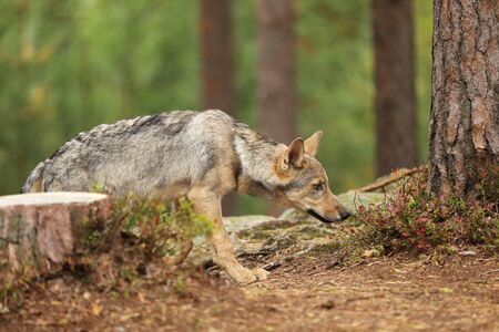 Gray wolf, Canis lupus, sniffing in the forest. Wolf in the nature habitat. Wild animal in the leaves on the ground. European wildlife nature. Stok Fotoğraf