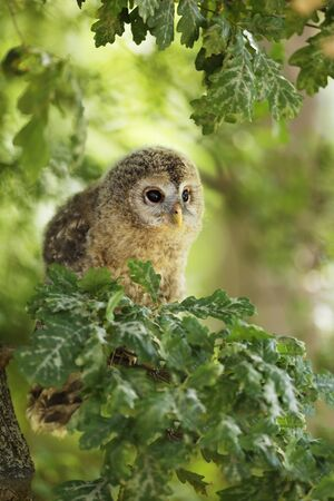 Young tawny owl - Strix aluco sin on the branch in leaves, Czech republic