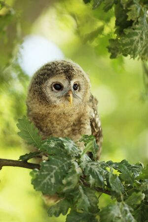 Nestling of tawny owl - Strix aluco - sit on oak tree between the leaves