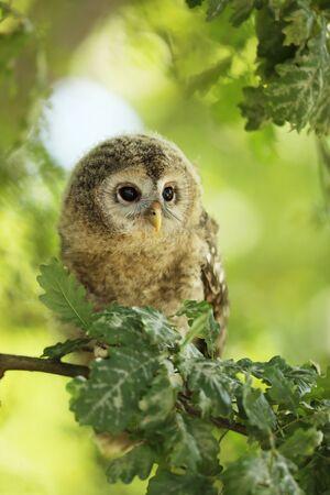 Nestling of tawny owl - Strix aluco - sit on oak tree between the leaves Stock fotó - 148182036