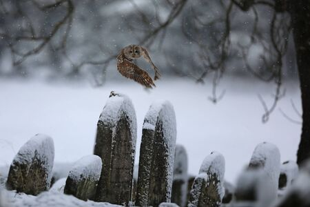 Flying Eurasian Tawny Owl, Strix aluco, in the winter near jewish cemetery. Carnivore, hunter.
