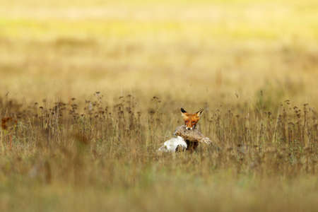 Red Fox after hunting, Vulpes vulpes, wildlife scene from Europe. Orange fur coat animal in the nature habitat. Fox with prey on meadow Reklamní fotografie
