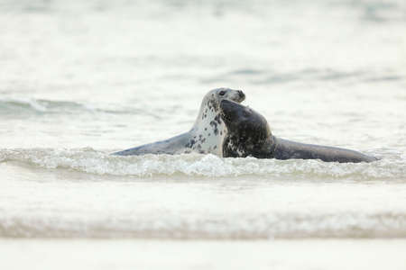 Grey Seal, Halichoerus grypus, portrait of playing animals in the blue water, wave in the background, animal in the water. Germany, Helgoland