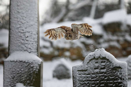 Tawny owl (strix aluco) fly ing in old cemetery in winter