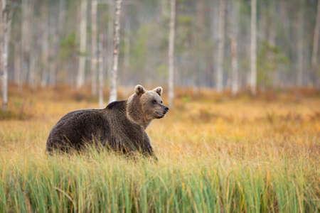 Brown bear in the nature habitat of Finland, finland wildlife, rare encounter, big predator, european wild nature. Beautiful and majestic Brown Bear Ursus arctos in autumn forest of Kuhmo