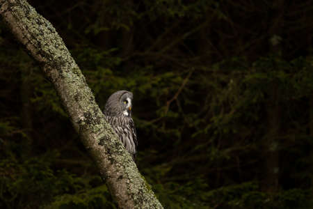 Majestic bird of prey, Great grey owl, Strix nebulosa perched on tree trunk in autumn forest