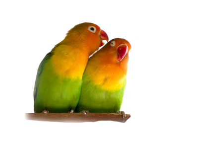 lovebird: Lovebird isolated on white Agapornis fischeri Fischers Lovebird