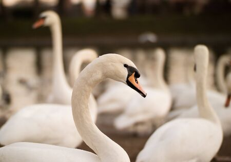 wroclaw: A big group of wild swans swimming in a winter lake in Wroclaw Stock Photo
