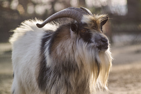 billygoat: old goat on a farm