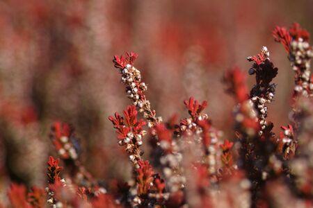 heather: Pink heather - Erica in springtime