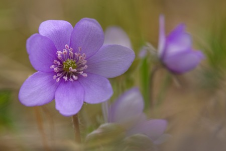 hepatica: Kidneywort Anemone hepatica flowers in sprintime