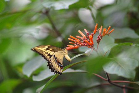 Yellow dovetail butterfly on flower