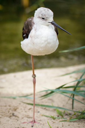 himantopus: Black winged Stilt - Himantopus himantopus Stock Photo