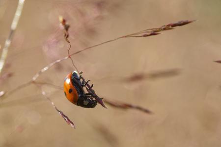 septempunctata: Ladybug on green leaf defocused background