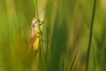 chorthippus: little Meadow Grasshopper (Chorthippus parallelus) Stock Photo