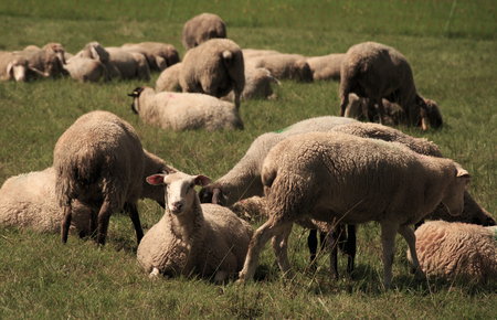 ovine: sheep within a mob on green grass Stock Photo