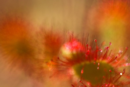 insectivorous plants: Sundew (Drosera) lives on swamps insects sticky leaves. Leaf of Sundew. Stock Photo