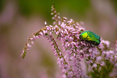 aurata: Insect on flower, rose-beetle, rose-chafer, goldsmith beetle (Cetonia aurata)