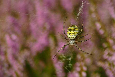 araneidae: Argiope bruennichi wesp spider in erika Stock Photo