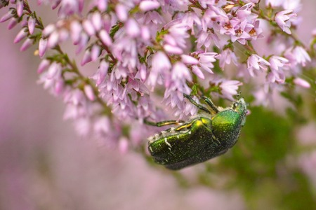 Insect on flower, rose-beetle, rose-chafer, goldsmith beetle (Cetonia aurata)