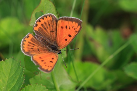 lycaena: , Small copper sitting on a flower