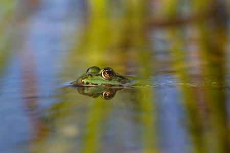 wide  wet: Grass frog reflection- Bruine kikker - Rana temporaria Stock Photo