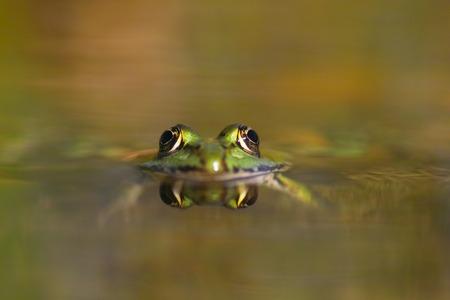 Grass frog reflection- Bruine kikker - Rana temporaria Stock Photo