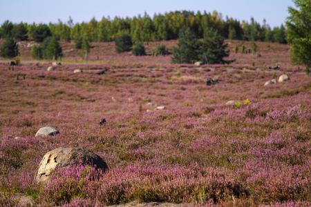 heathland: Heathland with flowering common heather (Calluna vulgaris) saxony nochten