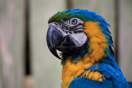 close-up portrait of a large blue macaw