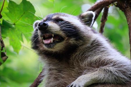 A little cheeky of Raccoons Reklamní fotografie