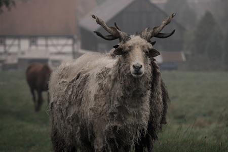 ovis: hungarian racka sheep (Ovis aries strepsiceros Hortobagyiensis) Stock Photo