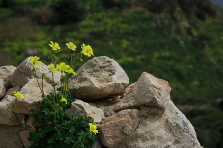 Oxalis pes-caprae on a wall in Malta Stock Photo