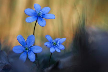 liverwort: Common hepatica bunch flowering in spring