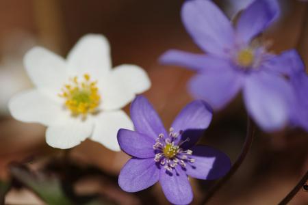 Common hepatica bunch flowering in spring