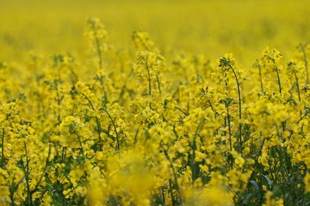 Field of yellow flowering oilseed rape in spring time (Brassica napus). Close up of blooming canola, rapeseed plant landscape.