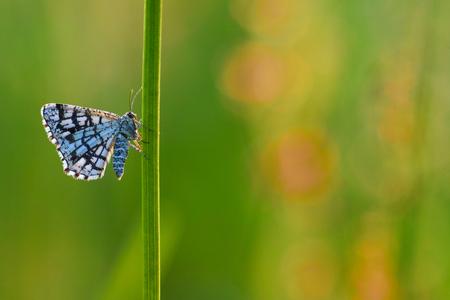 latticed: latticed heath butterflyx